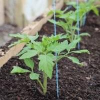 Как вырастить хороший урожай помидор в теплице