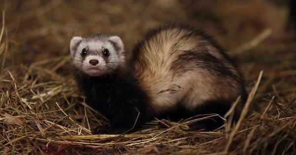 Хорь степной амурский: описание и фото животного.