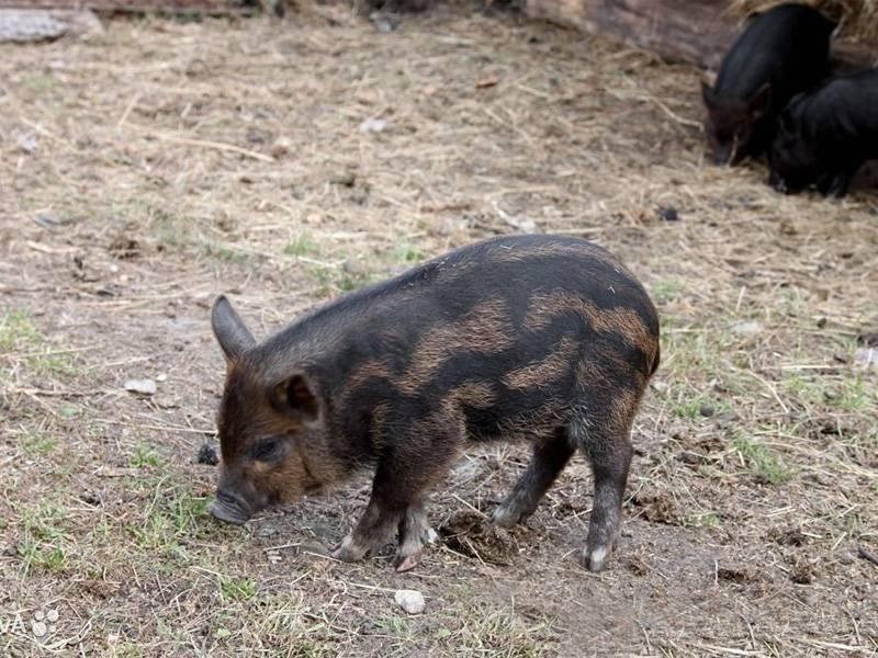 Характеристика породы свиней кармалы, уход за поросятами, особенности разведения и отзывы