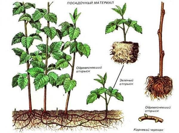 Правила и сроки осенней пересадки малины