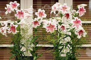Цветок лилия — комнатная: уход в домашних условиях