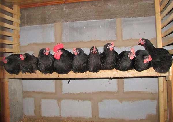 Синь синь дянь порода кур: описание китайской курицы (фото и видео)
