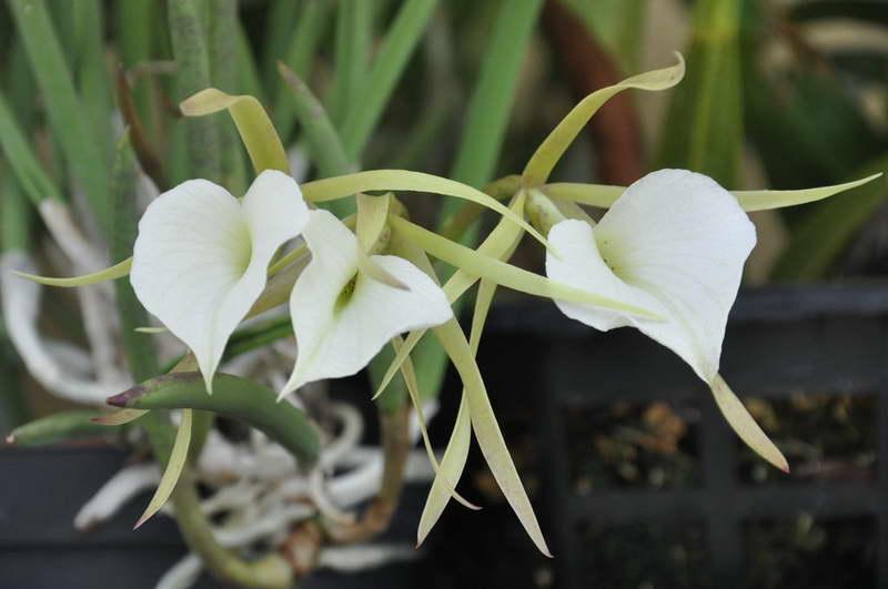 Выращивание орхидея сорта брассавола: отзывы, фото, размножение
