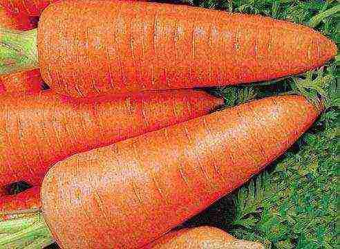 Когда сажать морковь в сибири - про сорта