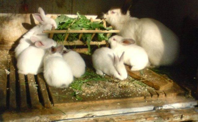 Одуванчики для кроликов: можно ли давать, с чем сочетать и как это сделать
