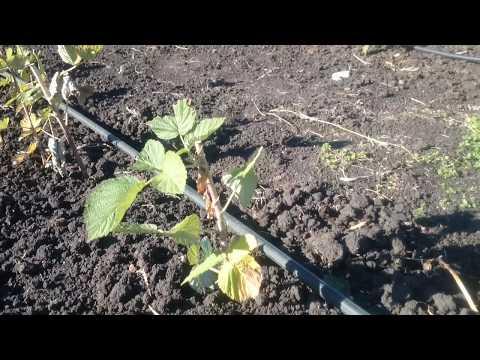 Посадка малины осенью: когда и как посадить, дальнейший уход
