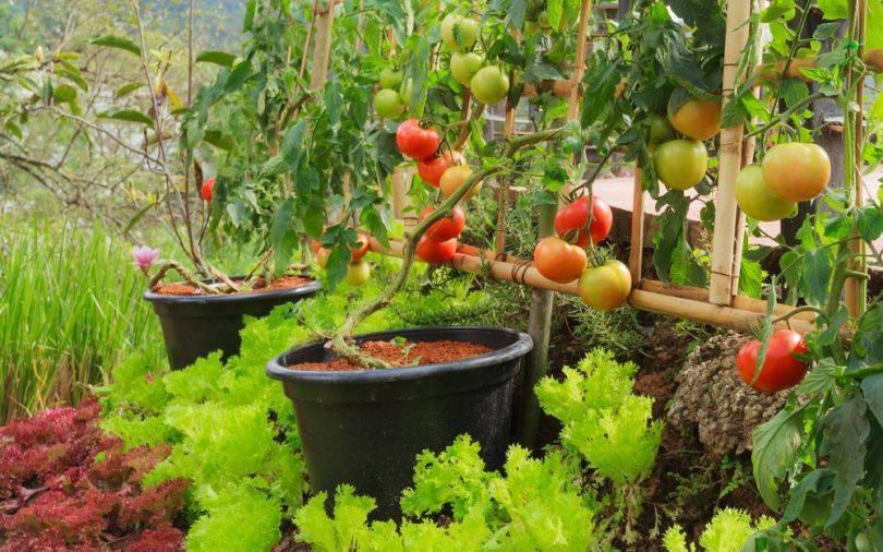 Идеальное соседство для помидоров