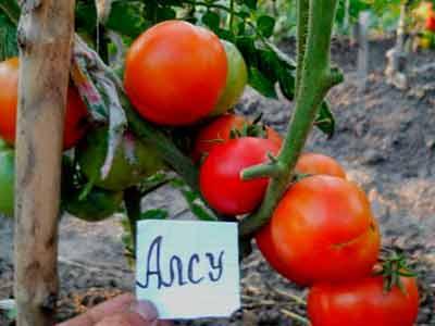 Томаты сорта «буденовка»: описание и особенности выращивания
