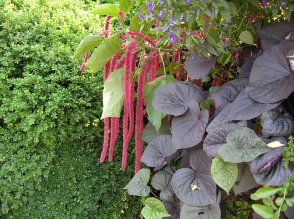 Амарант растение