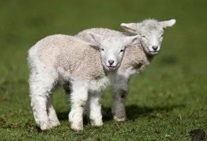 Рациональное кормление овец в домашних условиях