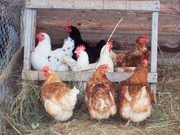 Антибиотики для кур несушек и цыплят