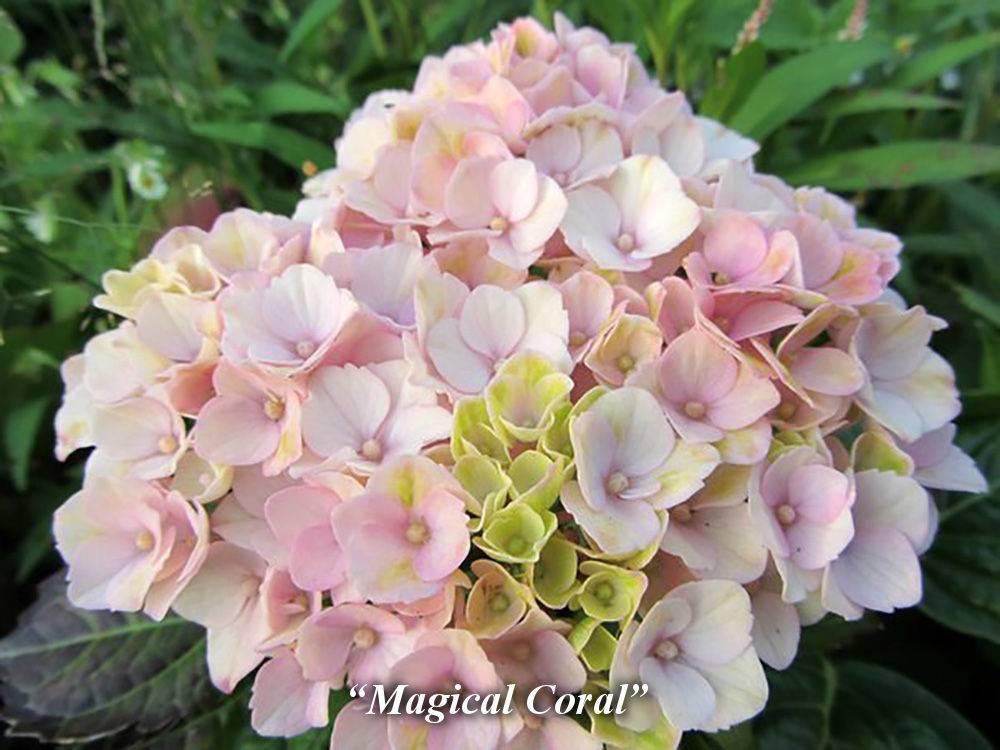 Макрофилла гидрангея: сорт крупнолистной шершавой гортензии, посадка и уход