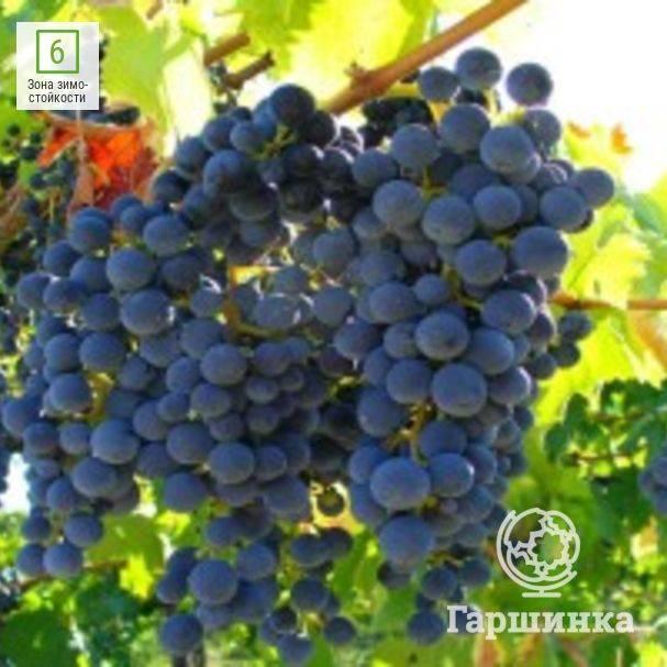 Виноград кишмиш потапенко: описание черного сорта, посадка и выращивание