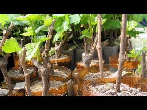 Виноград из черенков выращивание в домашних условиях