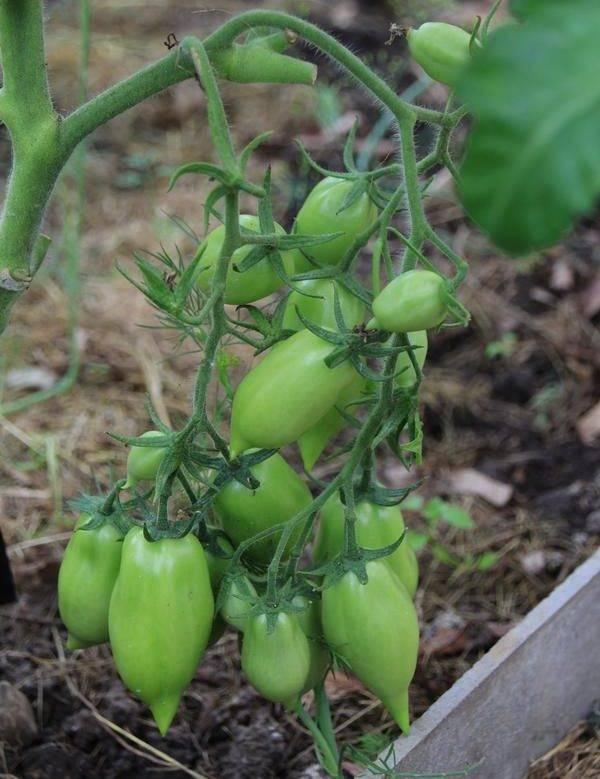 Почему на помидорах мало цветов и завязей?
