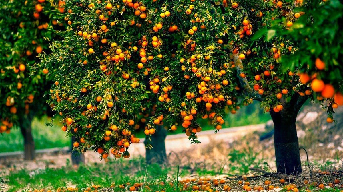 Экзотический апельсин - фрукт или ягода? сорта вечнозеленого дерева и их описание, польза и вред растения