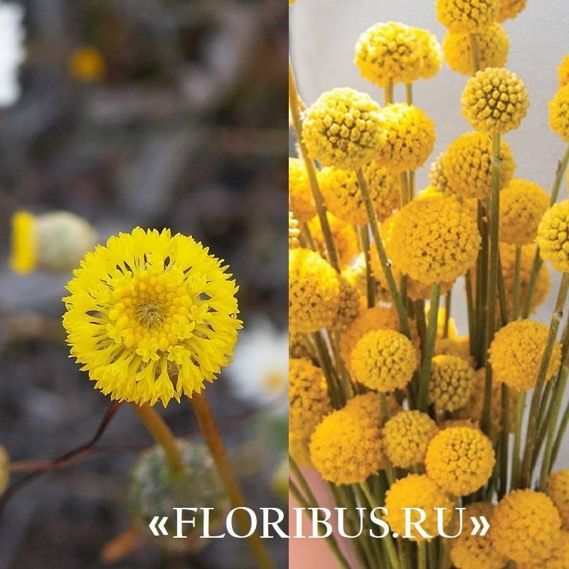 ✅ выращивание, размножение и уход за шаровидными хризантемами - сад62.рф