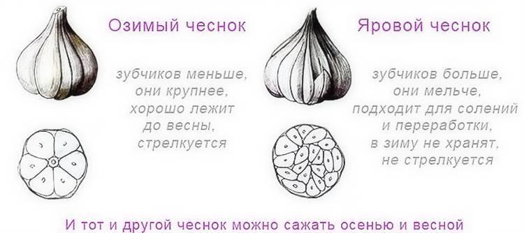 Выращивание озимого чеснока в открытом грунте – личный опыт