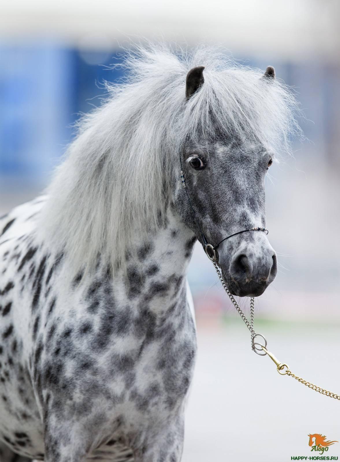 Карликовая лошадь: породы мини-лошадей