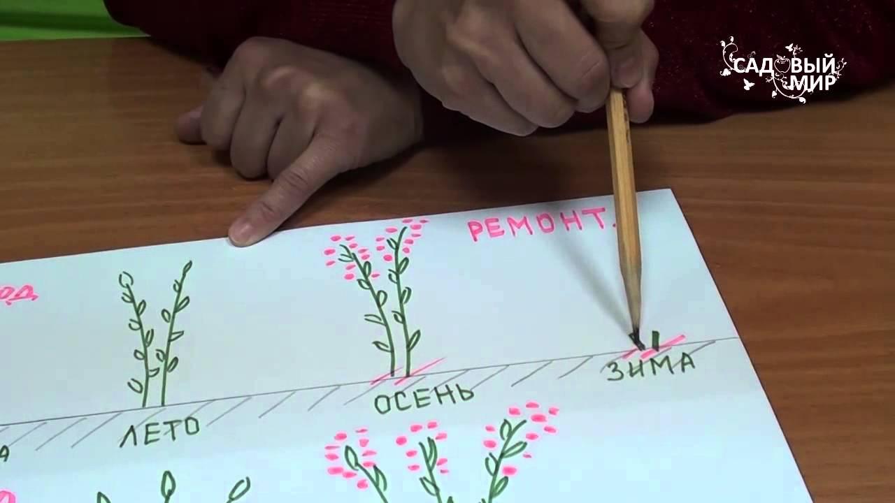 Обрезка ремонтантной малины осенью: когда и как обрезать, чтобы был хороший урожай, схемы и видео