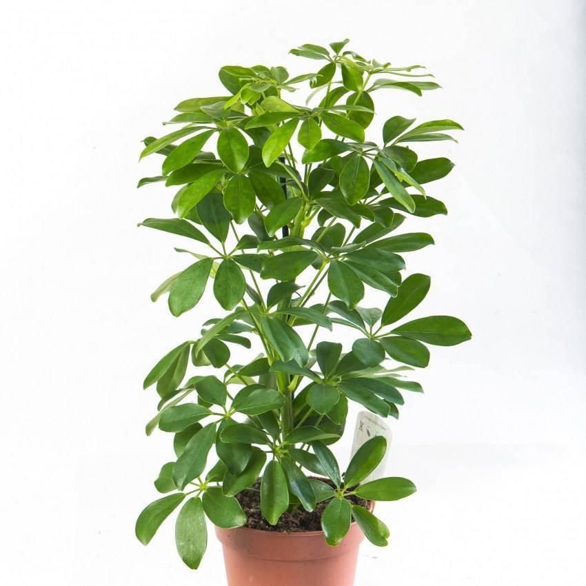Шефлера: выращивание из семян, размножение и пересадка, виды, фото