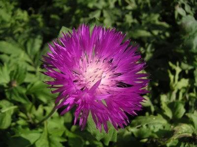 Василек многолетний выращивание из семян - выращивание из семян!