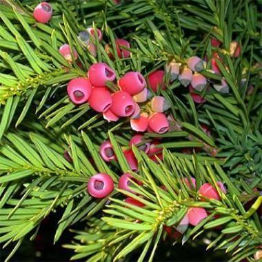 Тис ягодный - описание и сорта с фото. посадка, выращивание и уход за тисом ягодным