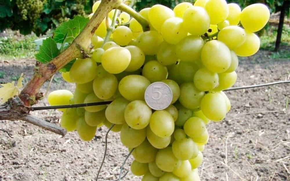 Сорт винограда аркадия: описание, фото
