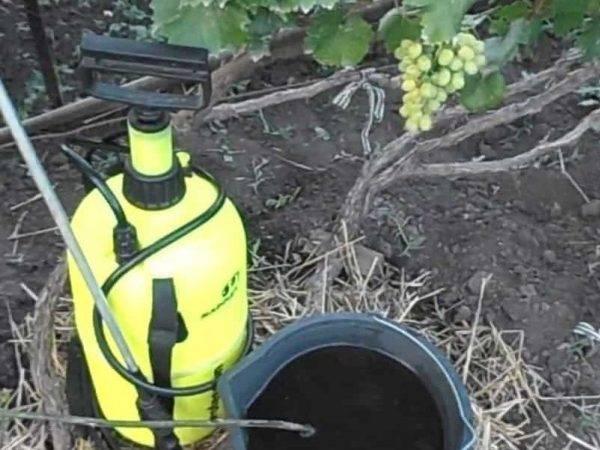 Схема подкормки винограда - как подкармливать, какие удобрения использовать