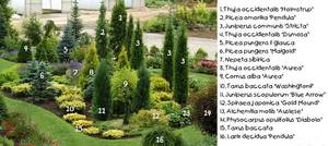 Виды хвойных растений для сада с фото и названиями