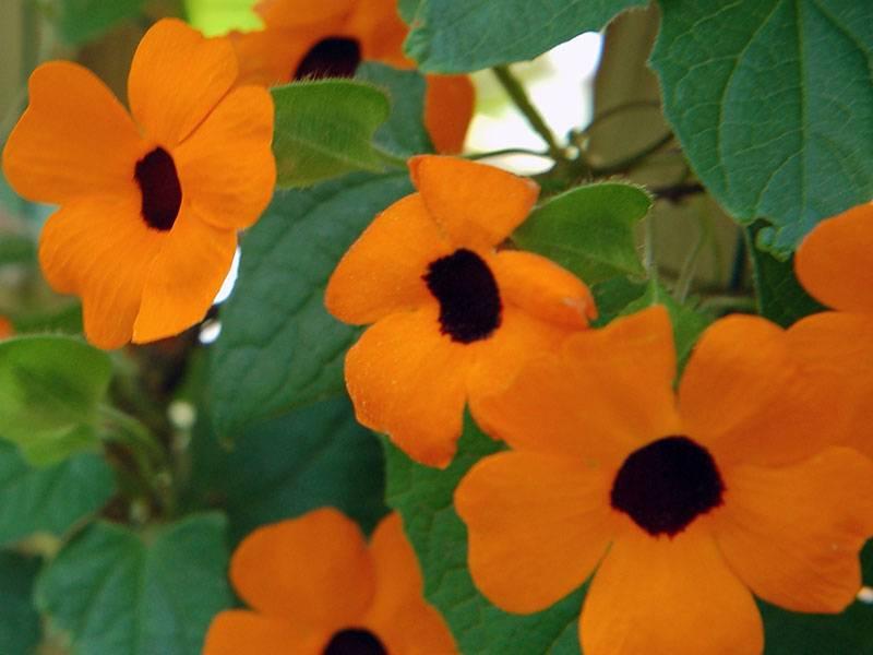 Тунбергия: разновидности с фото, выращивание из семян и посадка в открытый грунт, особенности ухода