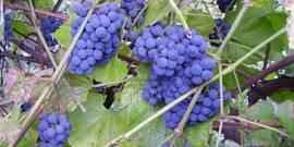 Осенняя обрезка винограда изабелла