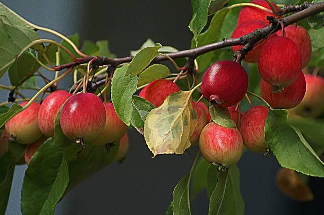 Яблоня китайка золотая ранняя описание сорта, посадка и уход, применение