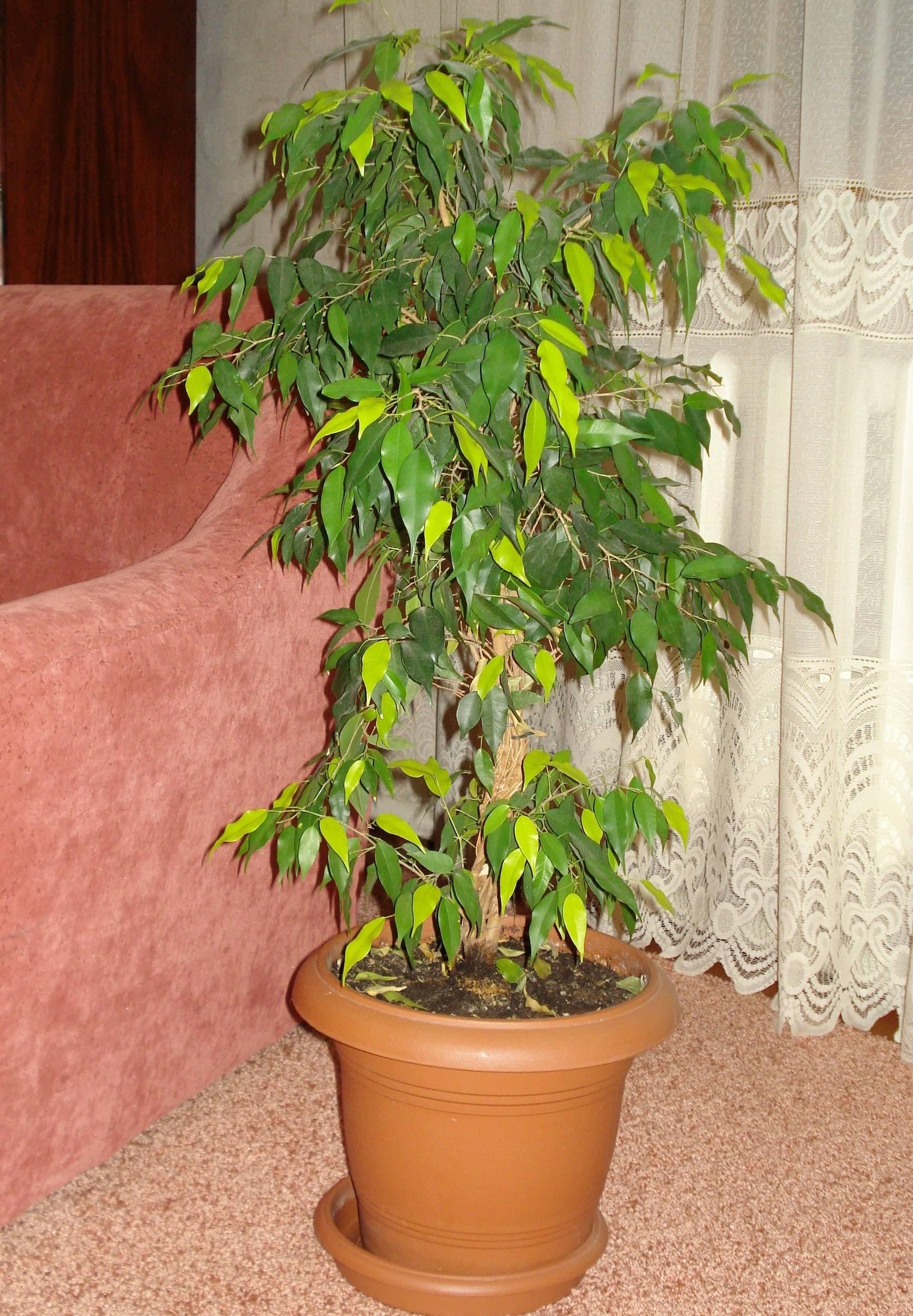 Особенности выращивания изящного фикуса наташа