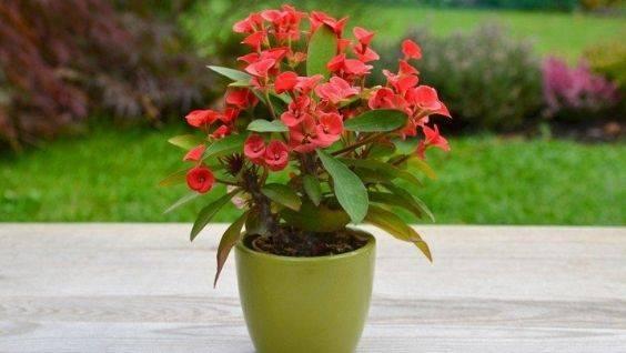 Вечнозелёный молочай тирукалли — описание цветка с фото, уход в домашних условиях