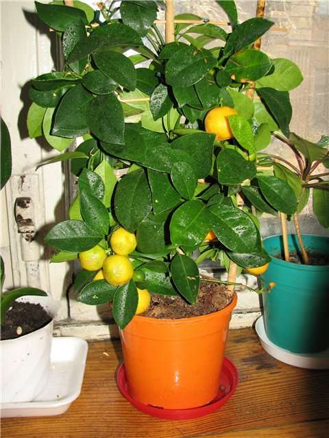 Правила формирования кроны лимона: как обрезать растение в домашних условиях?