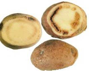 Почему гниет картофель в земле: чем обработать изнутри, можно ли употреблять картошку с белым налетом, что делать, если появилась плесень желтая и черная внутри