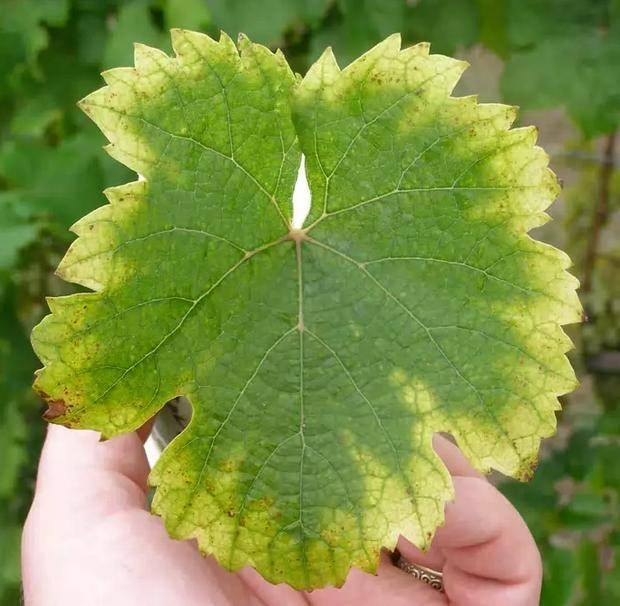 О чем «говорит» лист винограда