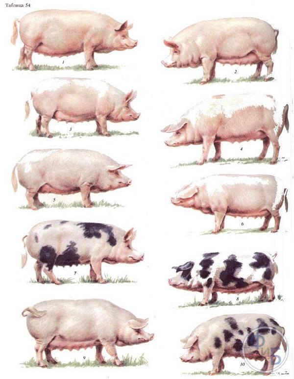 С чего начать бизнес по разведению свиней и как в нем преуспеть— бизнес-план и советы