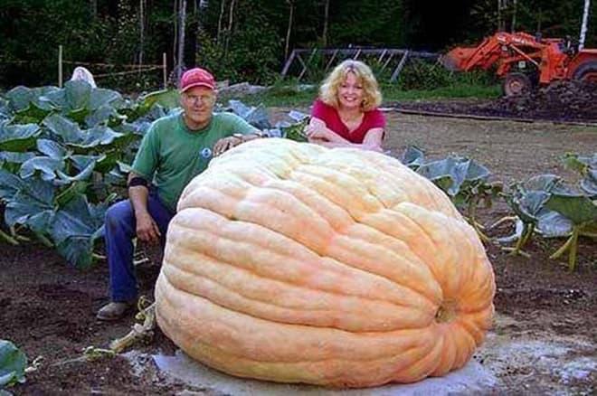 Cамая большая тыква в мире. секреты гигантского овоща