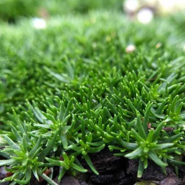Мшанка шиловидная — «мох-обманка» или неприхотливая его замена? как использовать ее для создания газона?