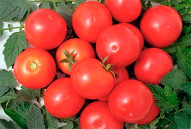 Томат яблонька россии - описание сорта, характеристика, урожайность, отзывы, фото