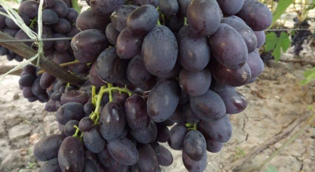 Высокоурожайный сорт винограда для северных регионов — «памяти домбковской»