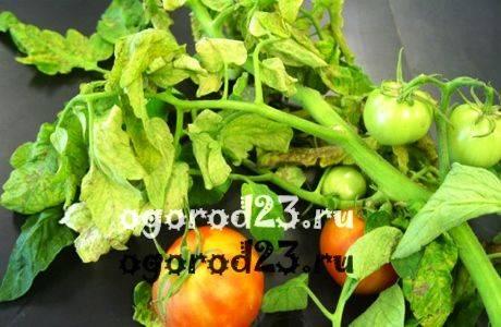 Почему могут возникнуть белые пятна на листьях помидор? | огородник белые пятна на листьях помидор — о чем говорит данный симптом? | огородник