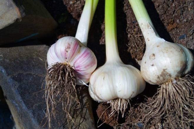 Выращивание чеснока: секреты агротехники