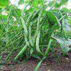 Фасоль спаржевая: выращивание и уход, когда сажать спаржевую фасоль в открытый грунт, сорта + фото