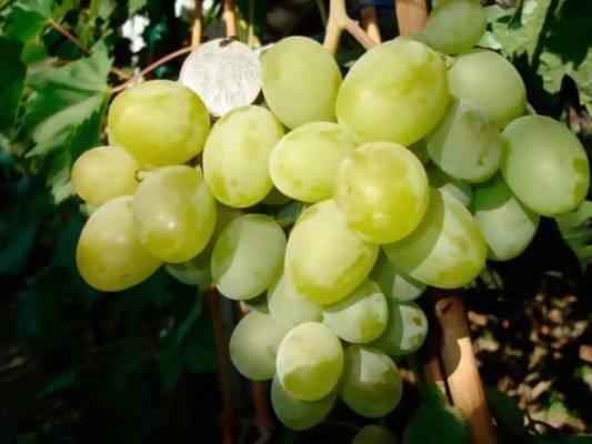 Описание сорта винограда новый подарок запорожью: фото и отзывы | vinograd-loza