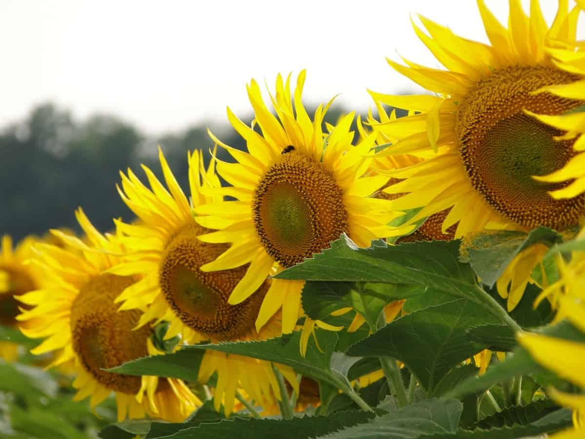 Подсолнечник: выращивание из семян, посадка и уход в открытом грунте, виды и сорта, фото