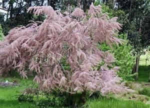 Тамарикс – правила посадки, ухода и размножения, почему не цветет растение, использование в ландшафтном дизайне