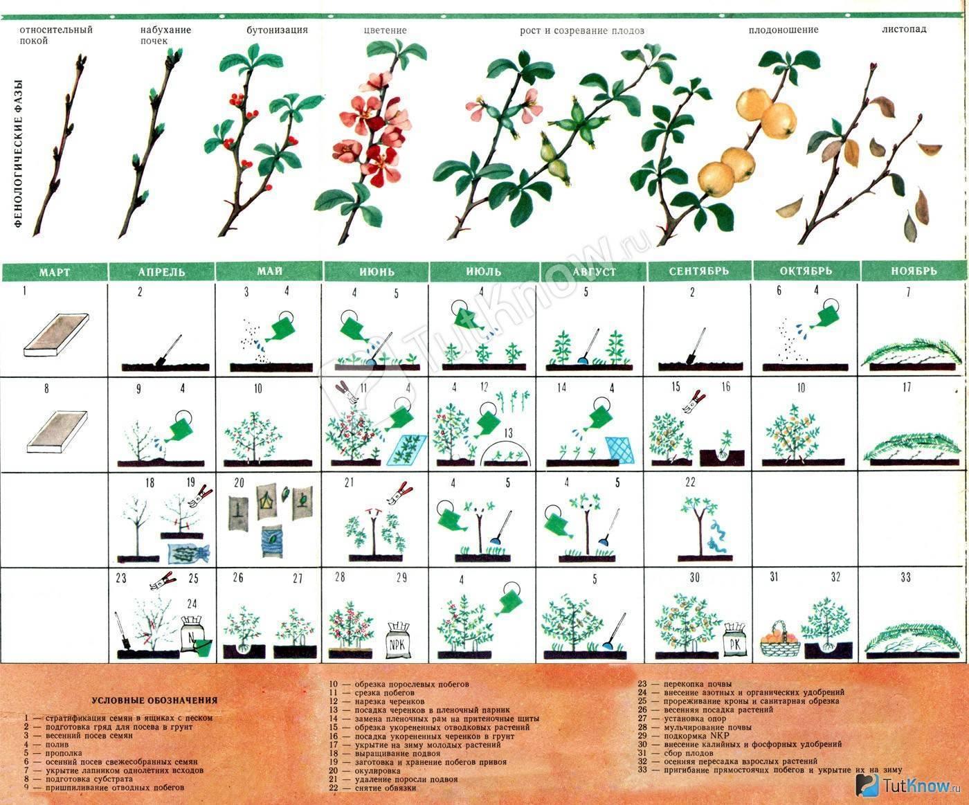 Айва японская: как правильно посадить и ухаживать за растением